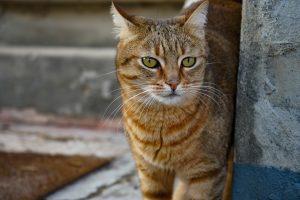 Pourquoi le chat se gratte-t-il?